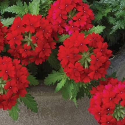 Семена цветов Первые семена Вербена гибридная Люцифер, красная, 0,3 г