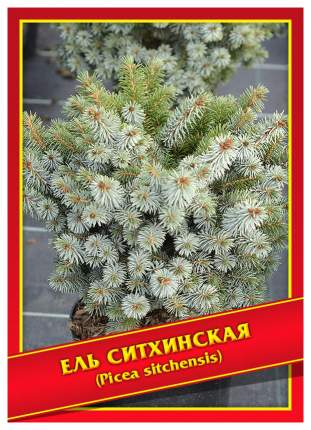 Семена Ель Ситхинская, 10 шт, Симбиоз