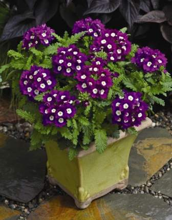 Семена цветов Первые семена Вербена гибридная Фиолетовая с глазками, 0,3 г