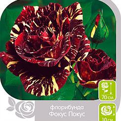 Роза Флорибунда ФОКУС ПОКУС, 1 шт, Семена Алтая
