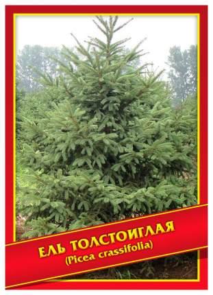 Семена Ель Толстоиглая, 10 шт, Симбиоз