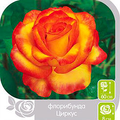 Роза Флорибунда ЦИРКУС, 1 шт, Семена Алтая