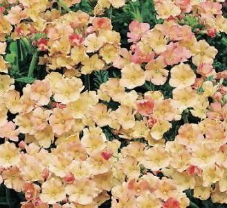 Семена цветов Первые семена Вербена гибридная Эприкот Шейдс, 0,3 г