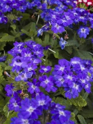 Семена Вербена Кварц Синяя F1, 5 шт, PanAmerican Seeds семена Семена Алтая