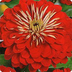 Семена Цинния изящная Исполин Красный, 0,3 г Гавриш