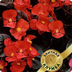 Семена Бегония вечноцветущая Сенатор Скарлет F1, 4 шт, Элитная клумба Гавриш