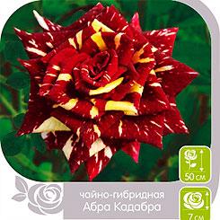 Роза чайно-гибридная АБРА-КАДАБРА, 1 шт, Семена Алтая