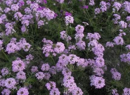 Семена цветов Первые семена Вербена тонкорассечённая Лилак блю, 0,3 г