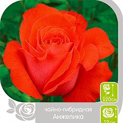 Роза чайно-гибридная АНЖЕЛИКА, 1 шт, Семена Алтая