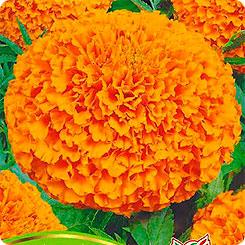 Семена Бархатцы Сиерра Оранжевые, 0,3 г Семена Алтая