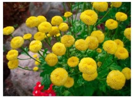 Семена Пиретрум девичий Золотой шар, 0,05 г Плазмас