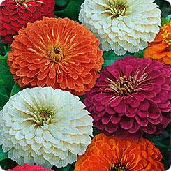 Семена Цинния изящная Русские богатыри, Смесь, 0,5 г 1+1 Гавриш