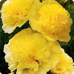 Семена Мальва Желтая королева, 0,1 г Гавриш