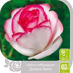 Роза чайно-гибридная ДОЛЬЧЕ ВИТА, 1 шт, Семена Алтая