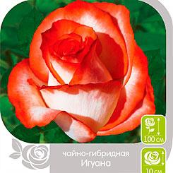 Роза чайно-гибридная ИГУАНА, 1 шт, Семена Алтая
