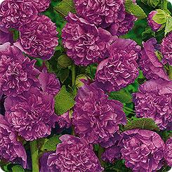 Семена Мальва Фиолетовый бархат, 0,1 г Гавриш