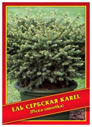 Семена Ель Сербская «Karel», 10 шт, Симбиоз