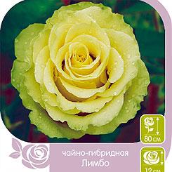 Роза чайно-гибридная ЛИМБО, 1 шт, Семена Алтая