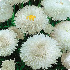 Семена Маргаритка Весна Заснеженная, 0,05 г Гавриш