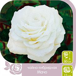 Роза чайно-гибридная МАЧО, 1 шт, Семена Алтая