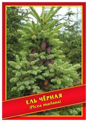 Семена Ель Черная, 10 шт, Симбиоз