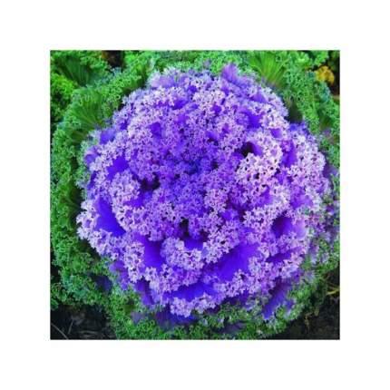 Цветы Капуста Декоративная Кружевное жабо F1, смесь (10шт)