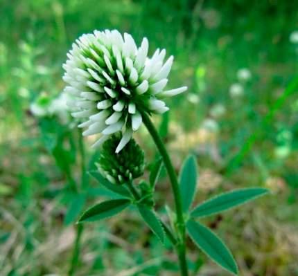 Семена Зеленый уголок Сидерат Клевер Белый, 500 г