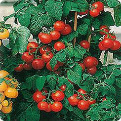 Семена Томат Микрон-НК, 10 шт, Русский огород